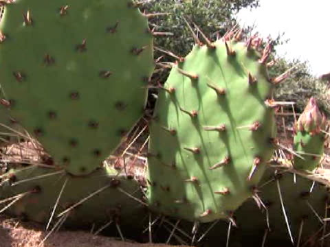 cu, zi, prickly pear cactus, canyon del muerto, canyon de chelly national monument, arizona, usa - canyon de chelly stock videos & royalty-free footage