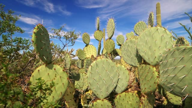 prickly pear cactus in saguaro national park, sonoran desert landscape near tucson, arizona - とげのある点の映像素材/bロール