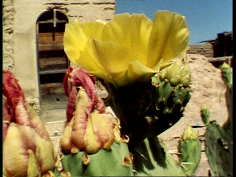 cu prickly pear cactus, opuntia polyacantha with lynx spider, peucetia viridans, camera tracks down height of plant from flower to spider, usa - prickly pear cactus stock videos & royalty-free footage