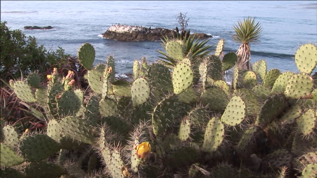 vídeos de stock e filmes b-roll de prickly pear cactus tops a cliff overlooking a california shore. - cato
