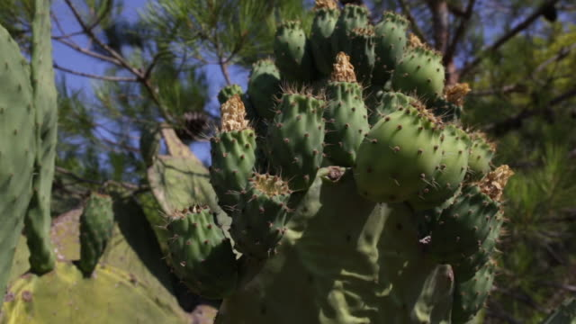 prickly pear cactus - prickly pear cactus stock videos & royalty-free footage