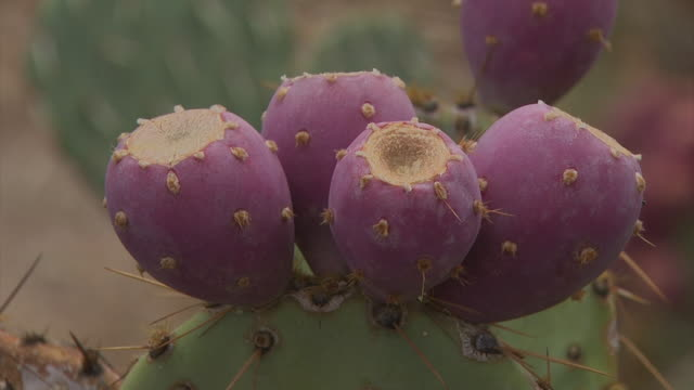 prickly pear cactus with fruit buds in arizona, usa. - prickly pear cactus stock videos & royalty-free footage