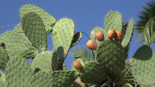 prickly pear cactus with ripe fruits - cactus stock videos and b-roll footage