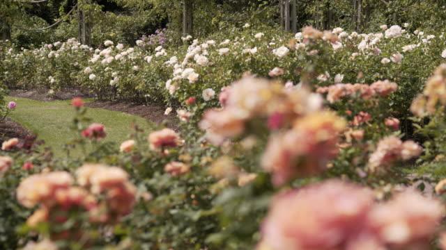 pride of cheshire rose (wekosupalz) - flowerbed stock videos & royalty-free footage
