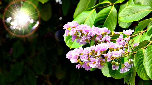 pride of india - crepe myrtle tree stock videos and b-roll footage