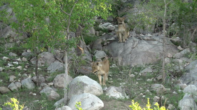 vidéos et rushes de a pride of lionesses descend a rocky outcrop in the kruger national park, south africa - outcrop