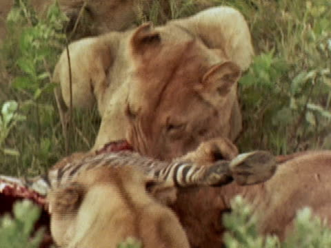 a pride of lionesses feed on a zebra carcass - totschlag stock-videos und b-roll-filmmaterial