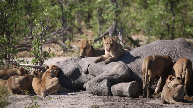 pride of lions climbing on dead elephant - death stock videos & royalty-free footage
