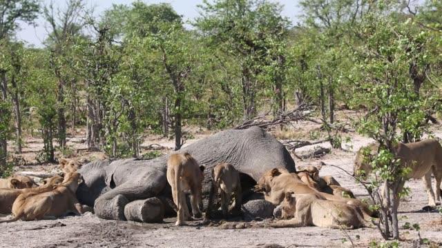 pride of lions climbing on dead elephant - ボツワナ点の映像素材/bロール