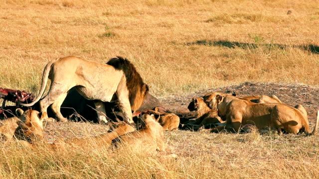 Pride of lions eating a pray in Masai Mara