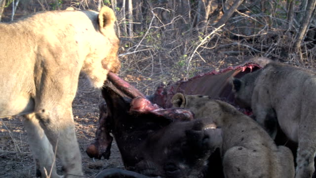 vídeos y material grabado en eventos de stock de a pride of lions feed on the remains of a buffalo on a cool winter's morning in the kruger national park, south africa - small group of animals