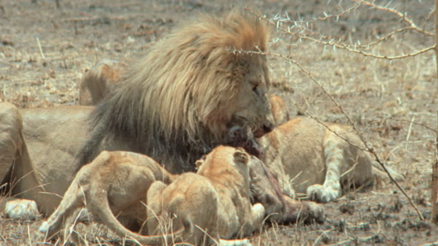 a pride of lions fight over a carcass. - pride stock videos & royalty-free footage