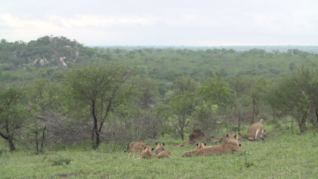 a pride of lions groom and play with each other with a rocky outcrop in the background in the kruger national park, south africa. - outcrop stock videos & royalty-free footage