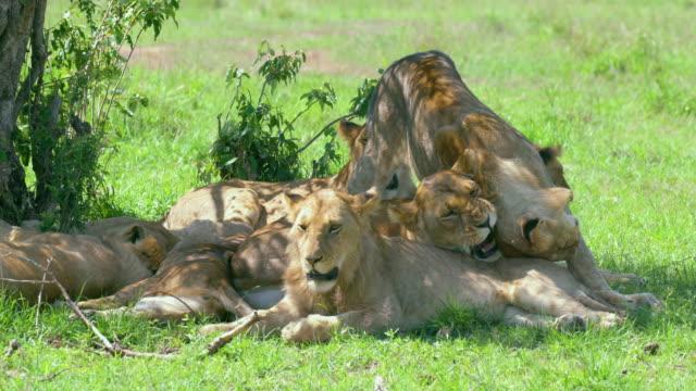 pride of lions in shade maasai mara, kenya, africa - carnivora stock videos and b-roll footage