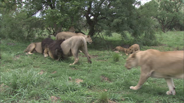 a pride of lions interacts in a grassy field. - young animal stock-videos und b-roll-filmmaterial