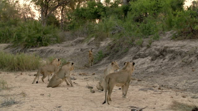 A pride of lions jump up and run to investigate the noise of another animal in the area in the Kruger National Park, South Africa