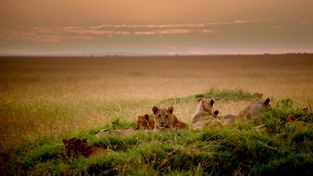 ws pride of lions laying down on grassy mound in grassland at sunset / masai mara, kenya - pride stock videos & royalty-free footage