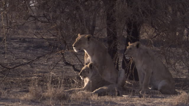 a pride of lions lounge under a tree in the serengeti. available in hd. - adagiarsi video stock e b–roll