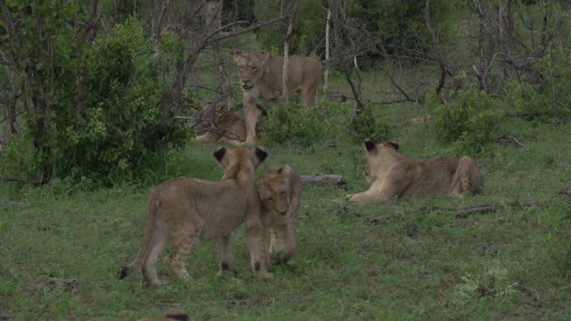 A pride of lions move together through some short green grass in the Kruger National Park, South Africa.