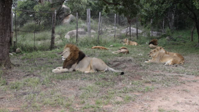 vídeos de stock e filmes b-roll de pride of lions resting in the shade close to a fence. in the background a lioness cleans herself while the lion keeps vigilant. - fazer uma pausa