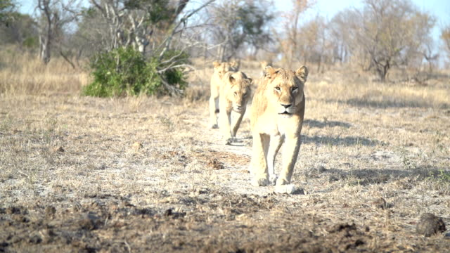 pride of lions walk in line straight towards camera through clearing in kruger national park, south africa - 向かう点の映像素材/bロール