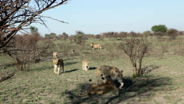 pride of lions walking towards lioness lying in the shade/ botswana - female animal stock videos & royalty-free footage