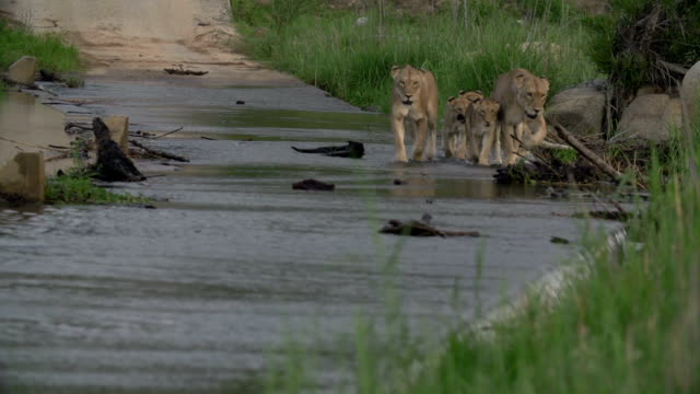 A pride of lions, with cubs, cross a waterway in the Kruger National Park, South Africa