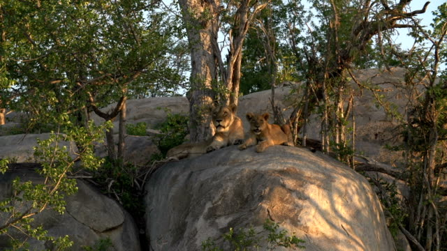 a pride of lions with cubs rest on a rocky outcrop in the kruger national park, south africa - outcrop stock videos & royalty-free footage