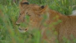 A pride of Maasai lions at Maasai Mara National Reserve, Kenya, Africa