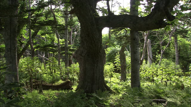 primeval forest of cape shiretoko in hokkaido - oak stock videos and b-roll footage