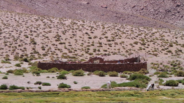 ws primitive stone structure without ceiling in dry brown land with green shrubs and green grass in foreground and 2 baby llamas grazing - erbivoro video stock e b–roll