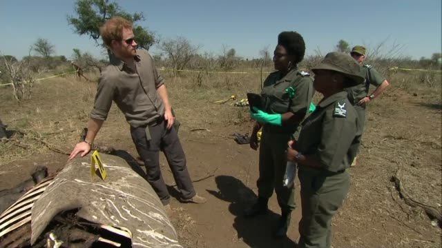 Prince Harry visits Kruger National Park SOUTH AFRICA Kruger National Park EXT Various shots Prince Harry along under cordon tape with South Africa...