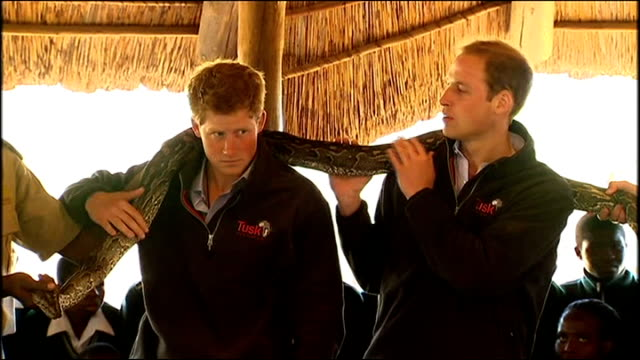 prince william and prince harry hold snake; botswana: mokolodi education centre and nature reserve: int gvs: rock python snake being placed around... - nature reserve stock videos & royalty-free footage