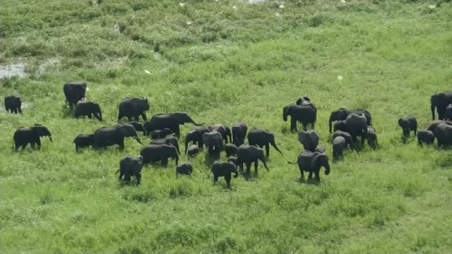 prince william appeal to save african elephants; t15031631 malawi: liwonde national park: ext air view herd of elephants in grassland elephants along... - malawi stock videos & royalty-free footage