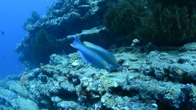 princess parrotfish. - parrotfish stock videos & royalty-free footage