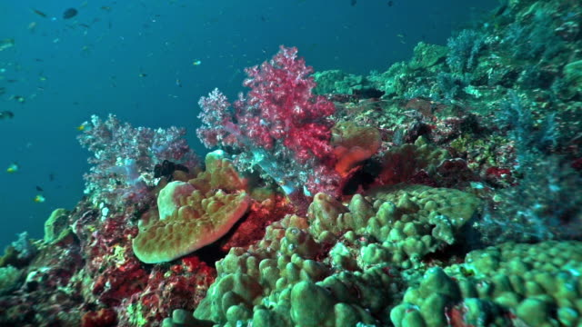 Pristine coral reef Alcyonarian soft coral, Hin Muang, Thailand