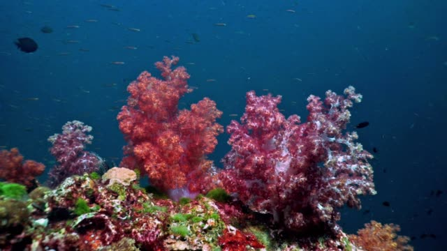 Pristine coral reef Pink and Purple Alcyonarian soft coral, Hin Deang, Red Rock, Purple Rock, Thailand