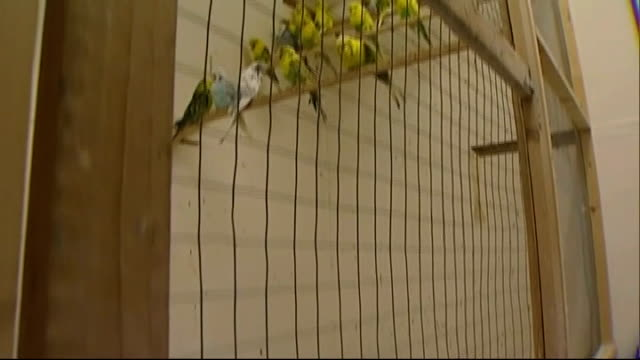 breeder suspects sabotage ext andrew pooley interview sot more views of budgies on floor of aviary tilt up to more budgies sitting on perches close... - breeder stock videos and b-roll footage