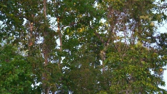 木の高いプロボシスサル - サラワク州点の映像素材/bロール