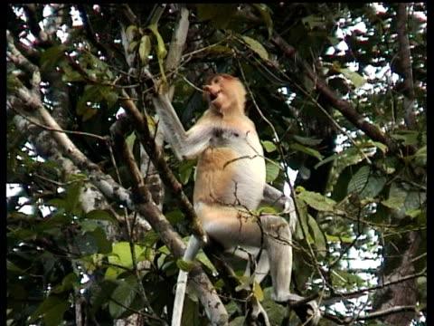 Proboscis Monkey (Nasalis larvatus) in tree, calling, Kinabatangan River, Sukau, Malaysia. With Audio.