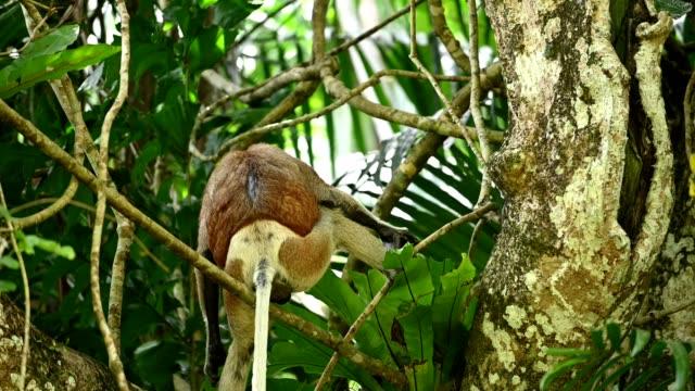 熱帯雨林の枝に座っているプロボシスサル - サラワク州点の映像素材/bロール