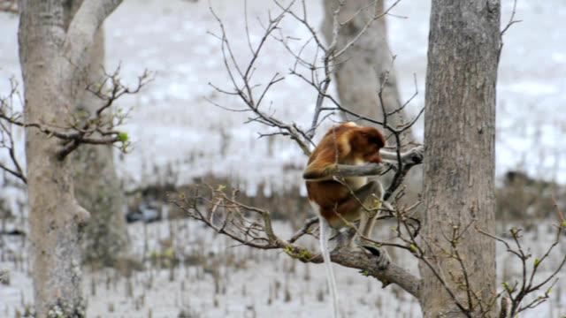 proboscis monkey - サラワク州点の映像素材/bロール