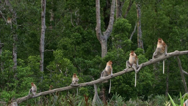 proboscis monkeys leave their tree branch perch as other proboscis monkeys jump in trees behind them. - tree stock videos & royalty-free footage