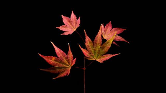 vídeos de stock, filmes e b-roll de process of maple tree leaves turning red and withering / gyeonggi-do, south korea - ramo parte de uma planta