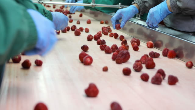 processing of strawberries on conveyor belt. harvest sorters - industrial equipment stock videos & royalty-free footage
