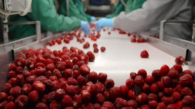 processing of strawberries on conveyor belt. harvest sorters - food processing plant stock videos & royalty-free footage