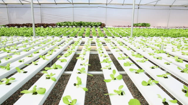 WS DS Produce in Hydroponic Lettuce Farm Greenhouse / Richmond, Virginia, United States