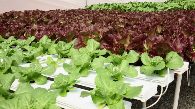ms ds produce in hydroponic lettuce farm greenhouse / richmond, virginia, united states - hydroponics stock videos & royalty-free footage