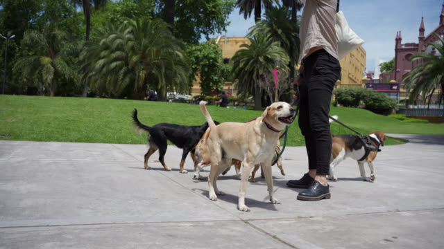 professional dog walker and a playful group of dogs at a public park - group of animals stock videos & royalty-free footage
