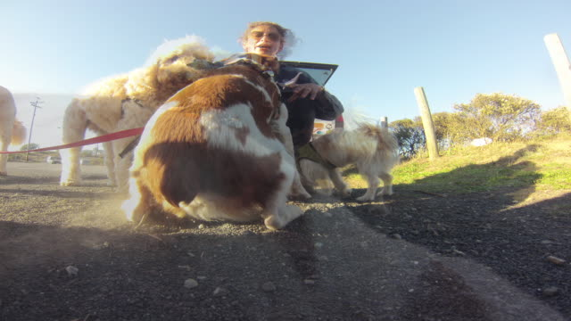 professional dog walker, candy bates, walking a collection of dogs along highway one near the entrance to muir woods.  following their exercise, candy loaded the dogs into the rear of her pickup truck and headed down the highway. - 犬の散歩点の映像素材/bロール